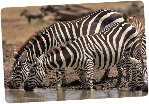 zebras-safari-kenya
