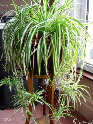 Como utilizar plantas para absorber contaminantes del aire - Plantas de interior cintas ...