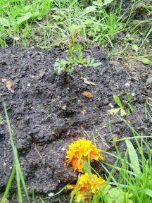 chewed up marigold