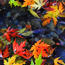 autumn leaves by Vernon Mata - Nature Up Close Leaves & Grasses ( nature, colorful, color, fall )