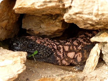 Gila Monster 04