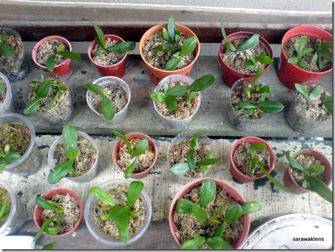 Phalaenopsis_seedlings (3)
