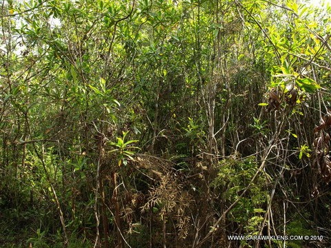Ploiarium_alternifolium_pokok_somah949