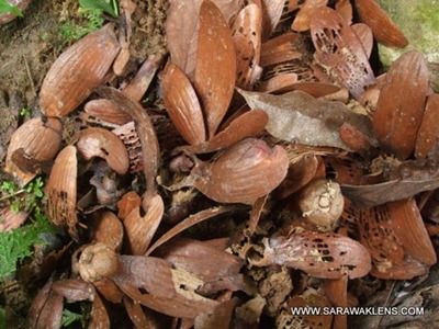 engkabang_illipe_shorea_fruit_3