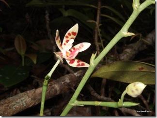 Phalaenopsis_maculata_orchid 2