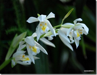 Coelogyne_foerstermannii_fragrant_orchid