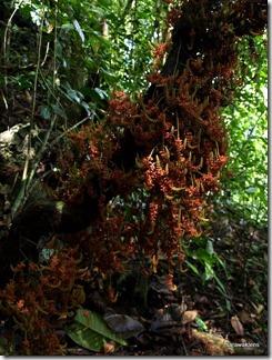 Jungle_liana_flowers_Borneo_5