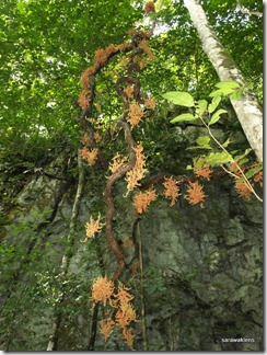 Jungle_liana_flowers_Borneo_3