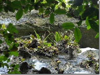 Paphiopedilum_stonei_in_natural_habitat_091120_10