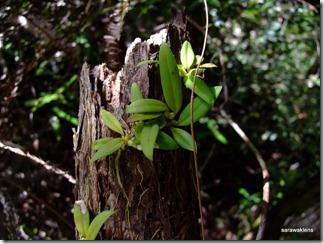 Bulbophyllum_cleistogamum_03