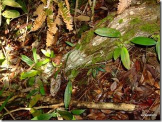 Bulbophyllum_cleistogamum_13