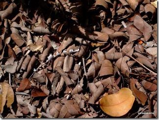 Very_dry_ground_leaf_litter4