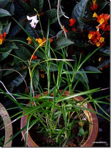 Arundina_graminifolia_mini_Vietnam (3)