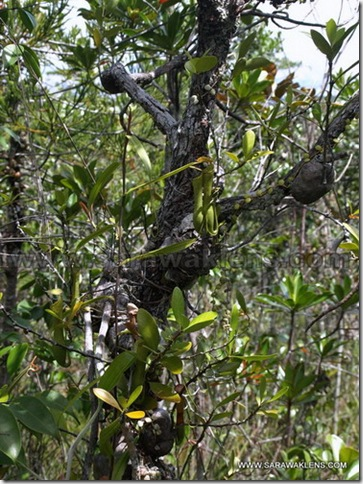 Ant_Plants
