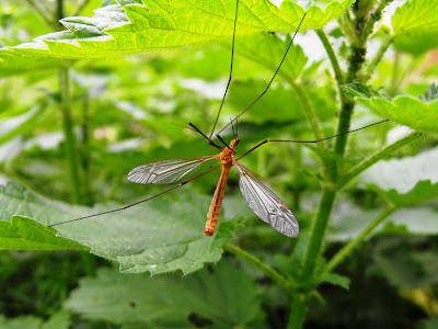 insecte... un tantar pe o urzica
