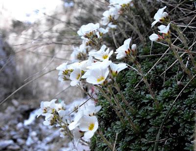 Muntii Mehedinti. Cheile Tasnei. Flori de munte