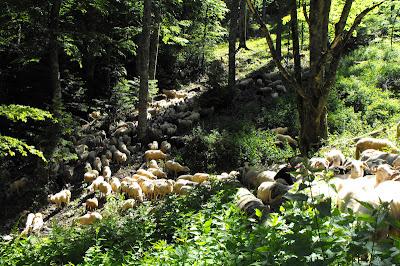 Piatra Craiului - turma de oi