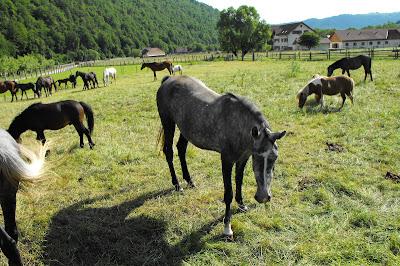 Piatra Craiului - herghelie de cai