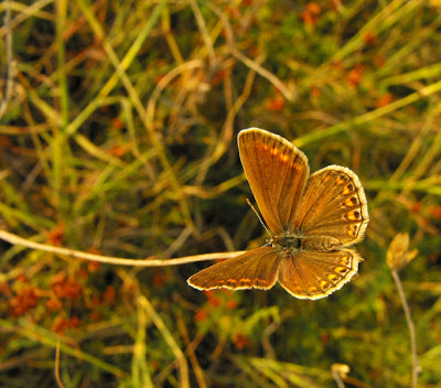 brown butterfly - fluturas maro
