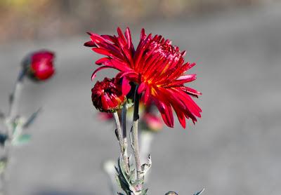 Marasesti. Crizantema. Toamna