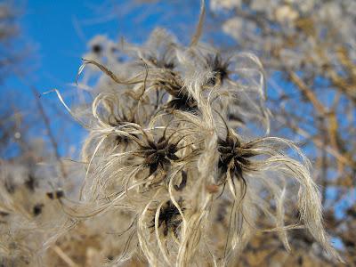 Tehomir. Iarna. Floare de curpen