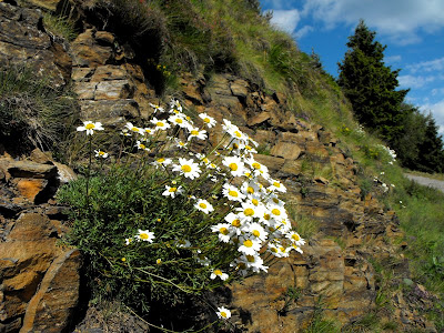 flori de stanca