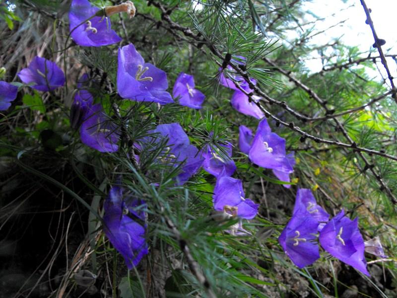 Bucegi - flori de munte