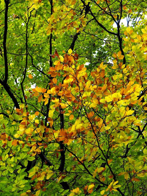 frunze galbene de fag