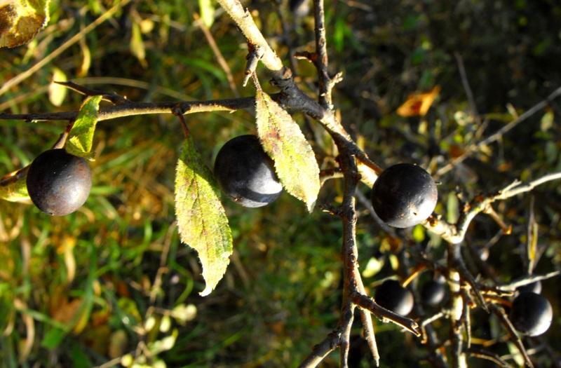 fructe de padure: scoroabe. Scorobar sau porumbar