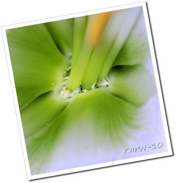 vit amaryllis 004