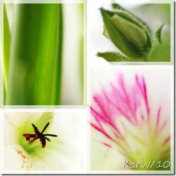 engelskpelargonabstrakt-pärlhyacintblad