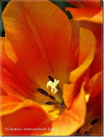 orangetulpansmitt
