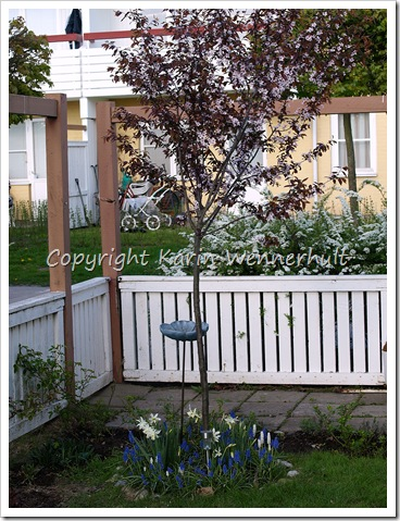 Runtblodplommonträdet