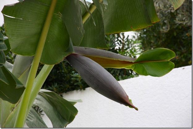 banane_bluete1
