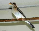 female Paradise Whydah