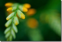 Crocosmia_by_sirpecangum