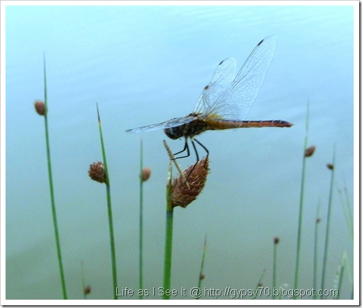 dragonfly-brown6