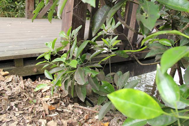 green snake at Sungei Buloh