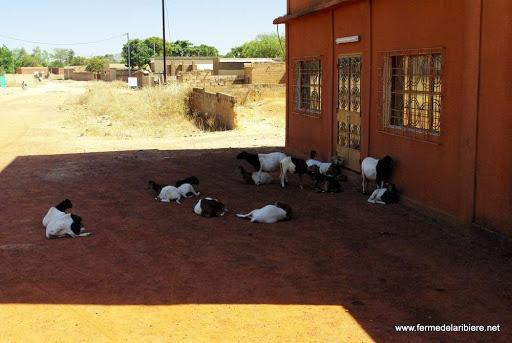 Des chèvres à l'ombre devant l'hotel.