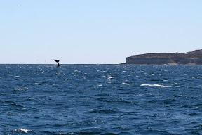 aleta de ballena