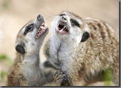 meerkat-photo-04