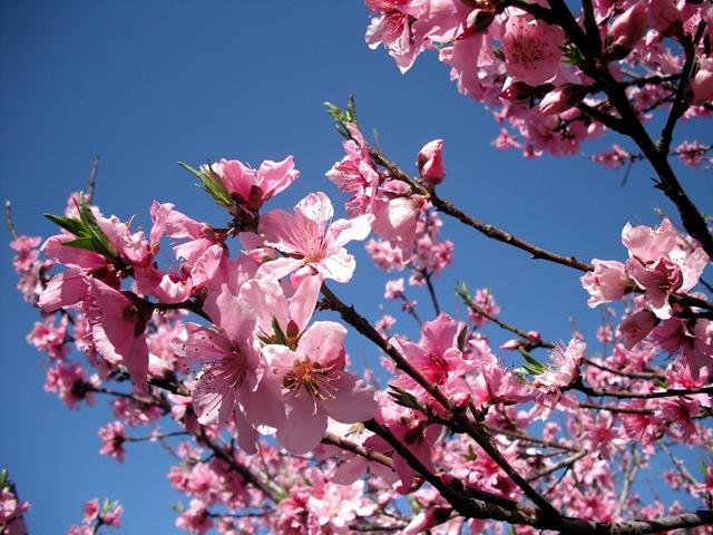 [Peach Blossoms 17[3].jpg]