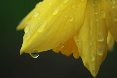 Daffodil after a rain shower by Anne Julson