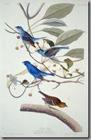 Audubon birds