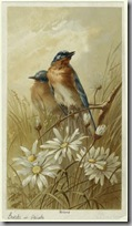 Audubon birds4