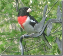 Rosebreasted Grosbeak4