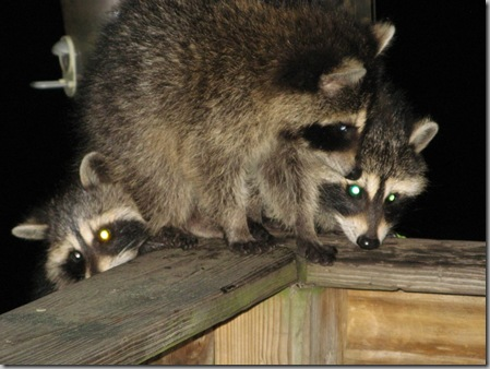 Raccoon babies3