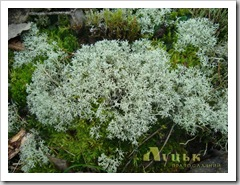 Гарний коралоподібний мох.