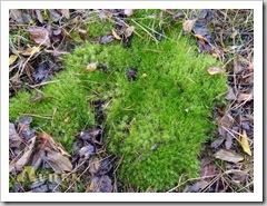 Знову мох, напевно, самий звичайний.