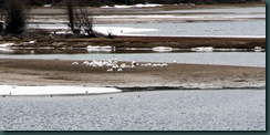 7.Pelicans.Oxbow.Bend.05.07.10